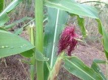 redhead corn